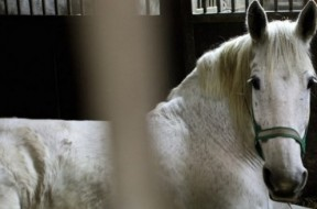 cavallo sangue