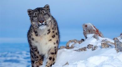 leopardo delle nevi fronte