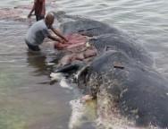 Balena plastica indonesia